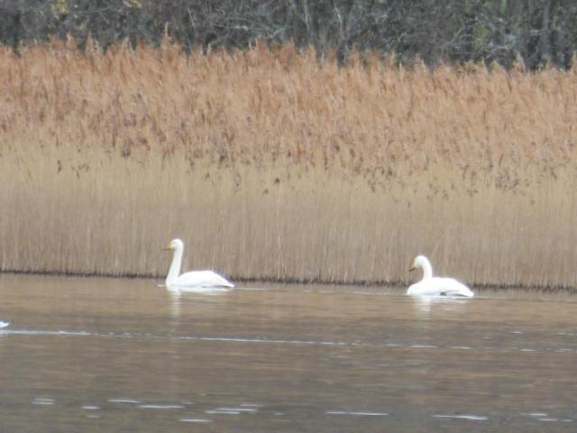 Whooper swans - passing through on their way north