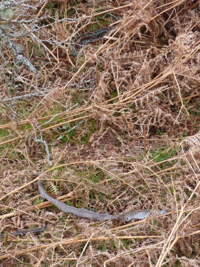 Shed adder skin in foreground, and probably the snake itself in the background