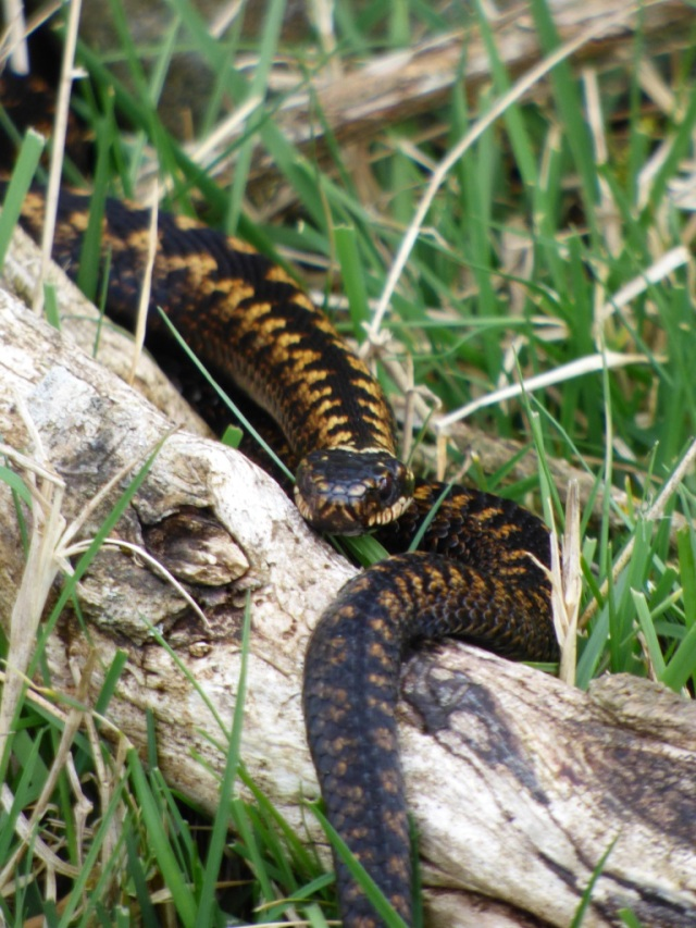 A darkly -coloured adder