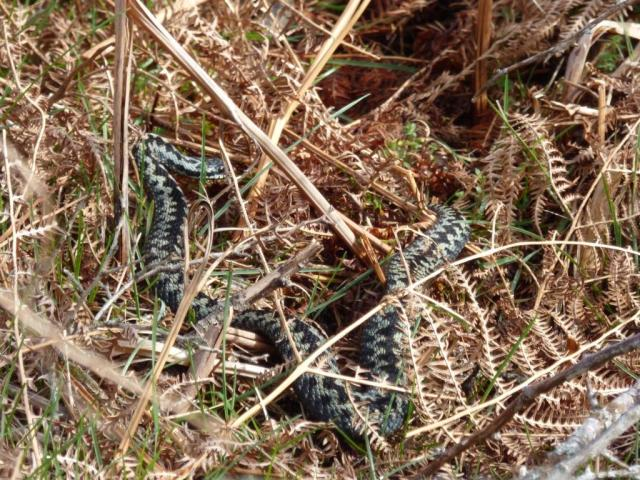This large adder may well be the same one featured last week, before and after shedding skin