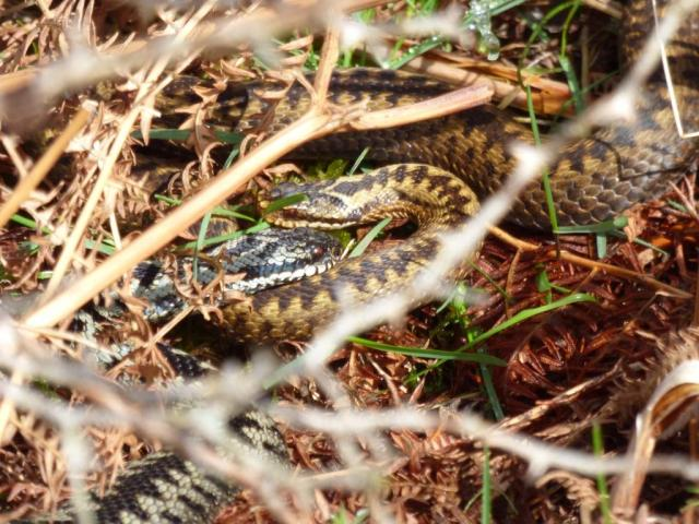 Amorous adders? A bit cold this morning but after shedding their skins, adders are ready to mate.