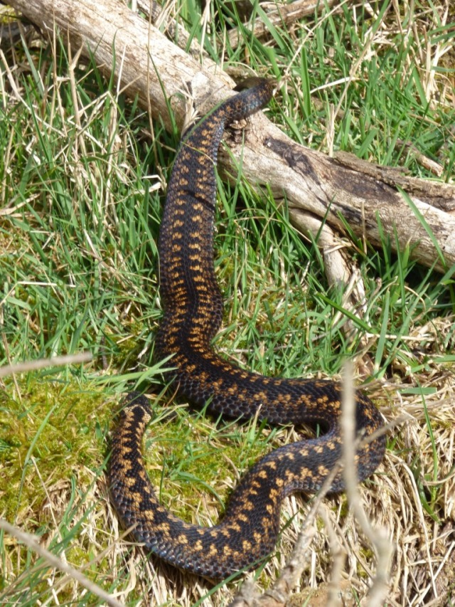 There is a huge variety in the colour of adders