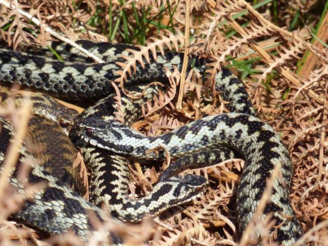 Interrupting a vital moment - the large male on the right has found the mating pair of adders