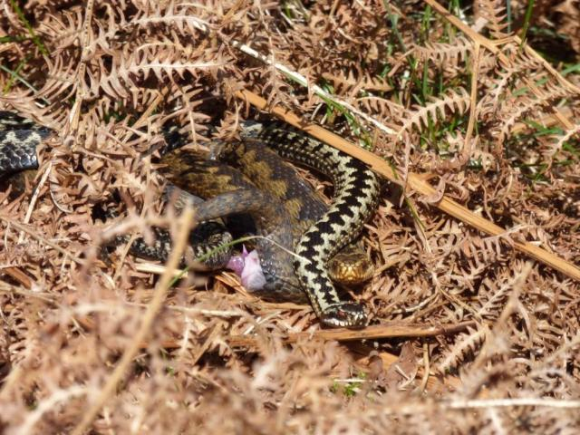Mating adders.