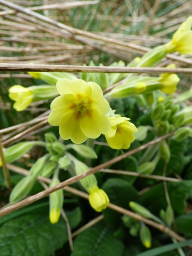 False oxlip, a relative of the primrose