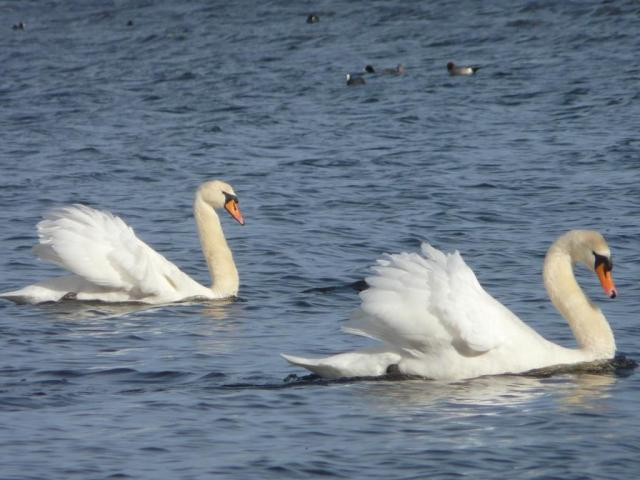 Under full sail - mute swans away to head off an intruder