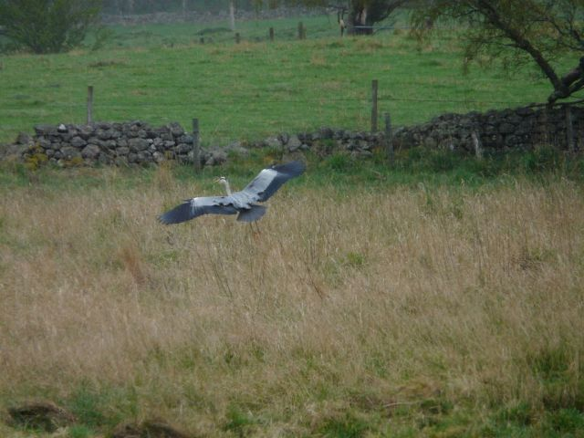 Flying heron, hunting for frogs in the field