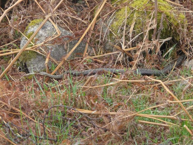 Large female adder in the rain on Wednesday