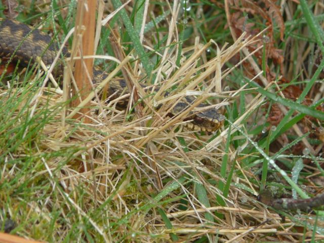 Another adder in the rain. You won't often see them in grass this wet.