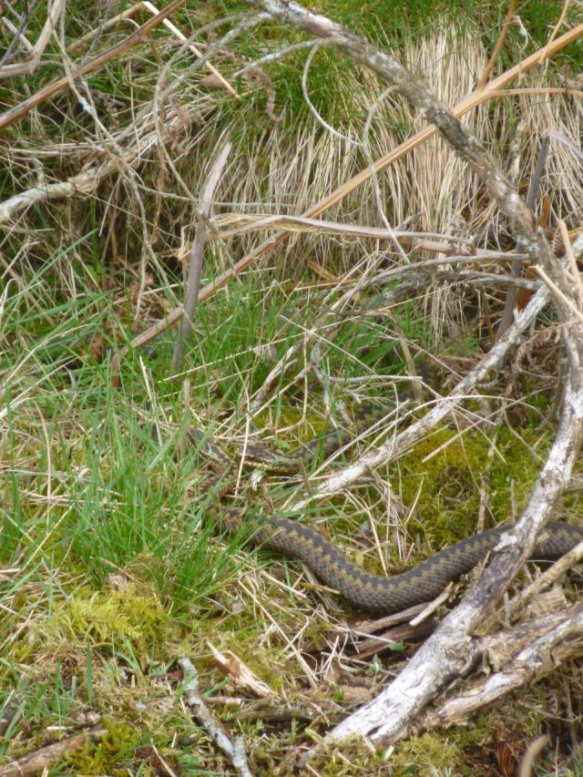 ....and in close up - two adders