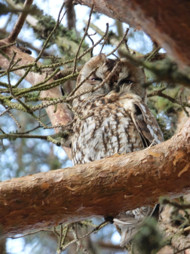 A beautifully camouflaged tawny owl