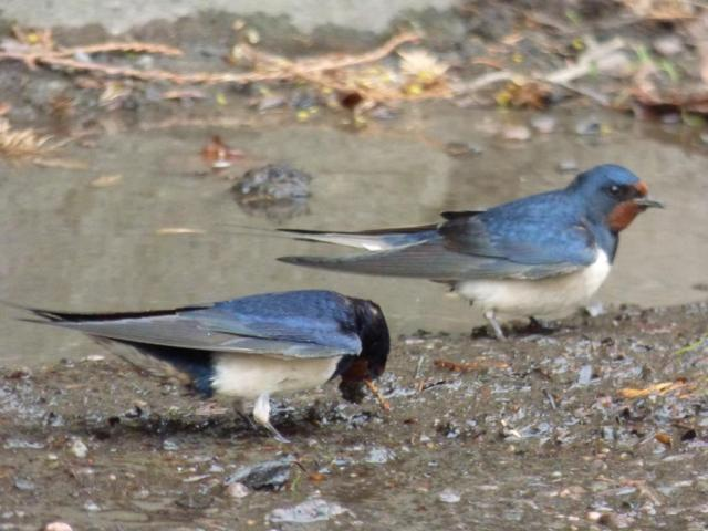 Swallows gathering mud