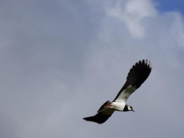 Incoming lapwing! They have a close look at you as you walk past, in case you're a threat.