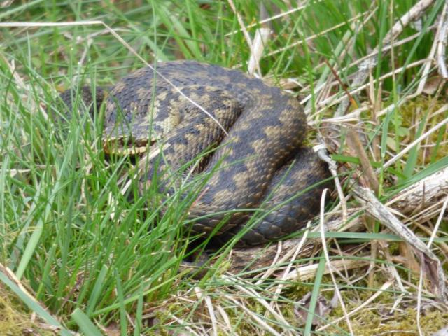 Adder basking Monday morning