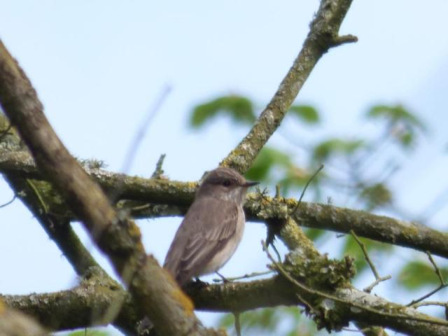 Spotted flycatcher, one of our later arriving migrants