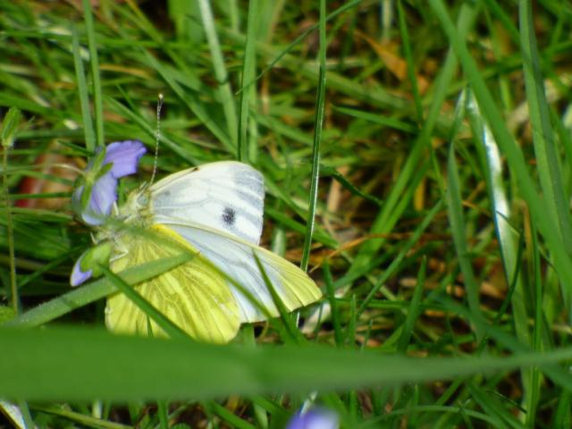 A newly emerged green- veined white butterfly