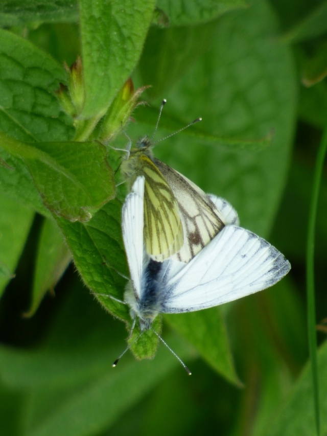 Green-veined whites mating