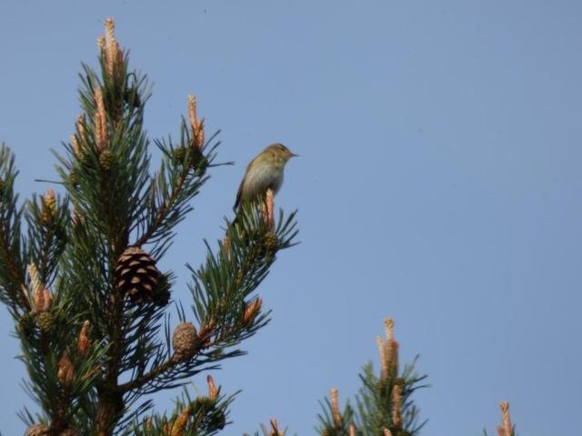 Willow warbler singing from the top of a pine tree