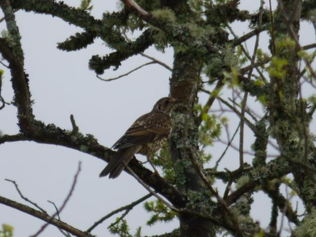 A recently fledged mistle thrush