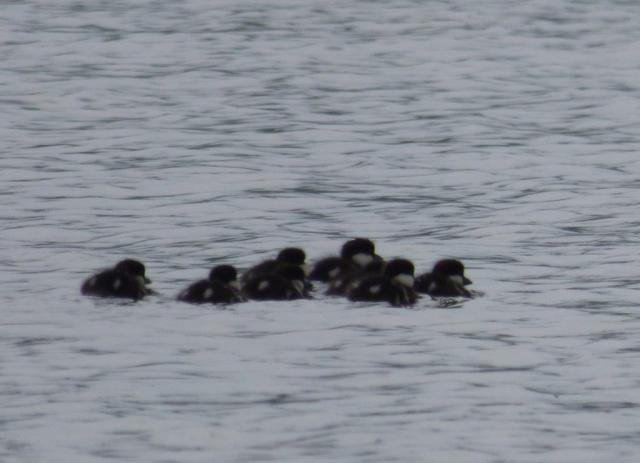 A brood of freshly-hatched goldeneye