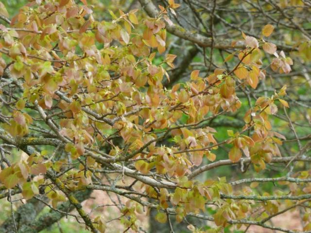 Spring aspen leaves