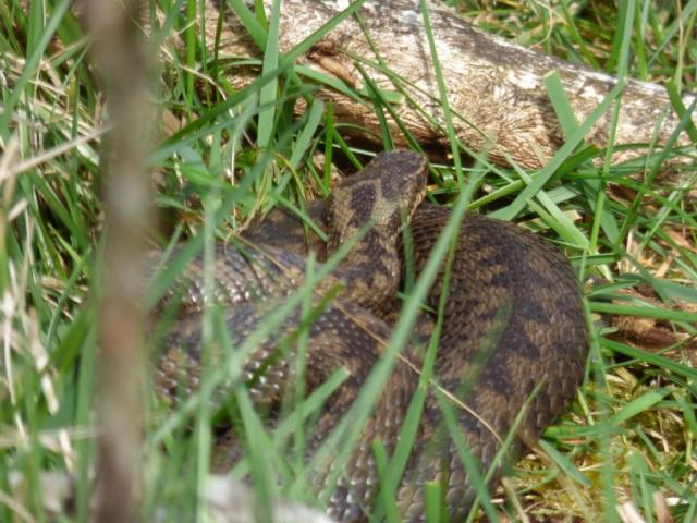 A rather fat-looking adder!