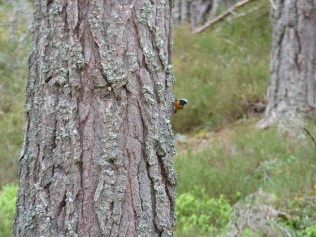 Just hanging out...a lovely male redstart on a Scots pine tree