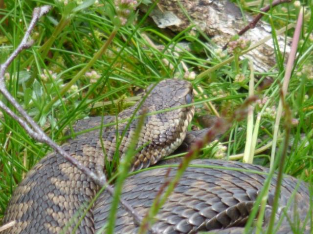 Adder, with eyes starting to go milky