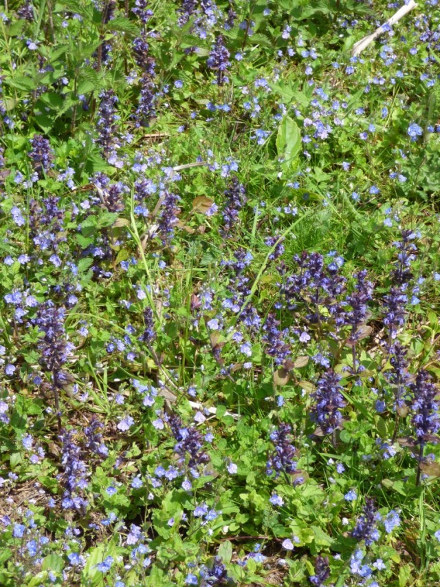 Bugle and germander speedwell