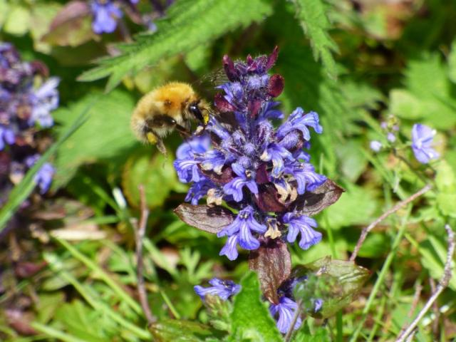 A common carder bee feeding on bugle