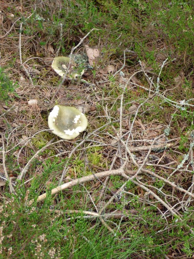Grass green russula
