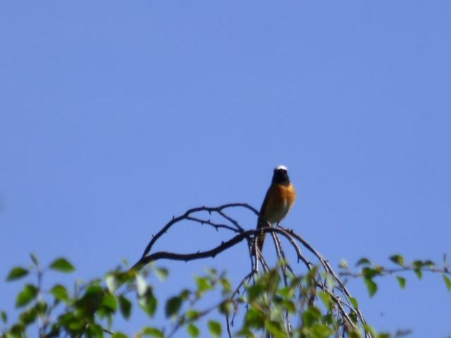 A glorious male redstart
