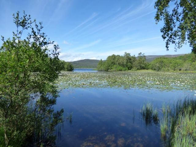 Water lilies coming into bloom on Loch Kinord
