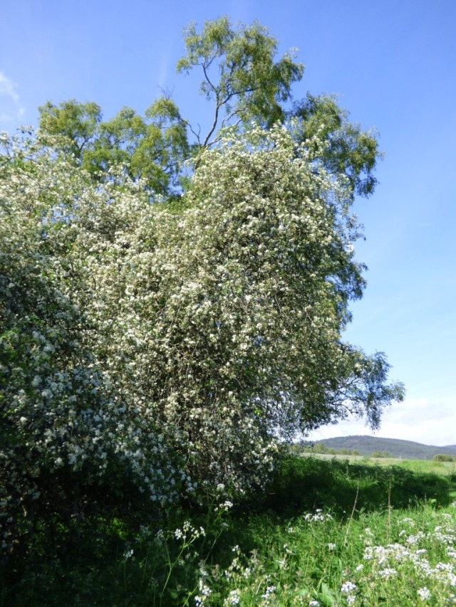 Hawthorn or may blossom