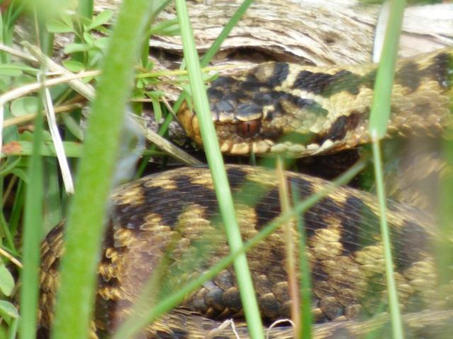 Adder in the long grass