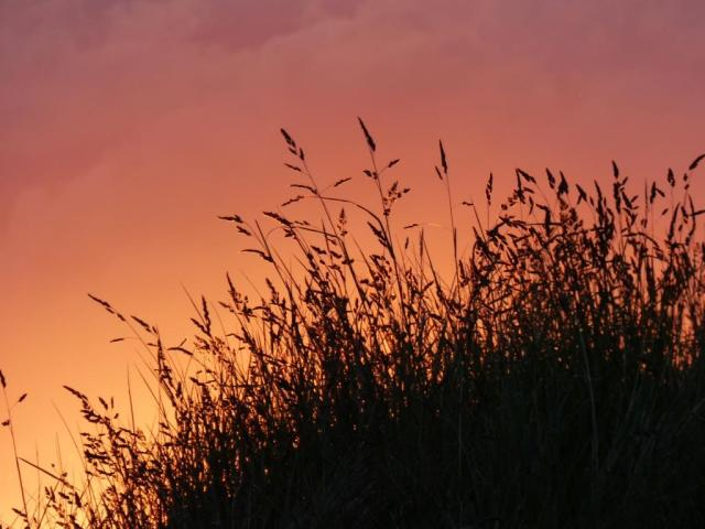 Sunset grass, mostly cock's-foot