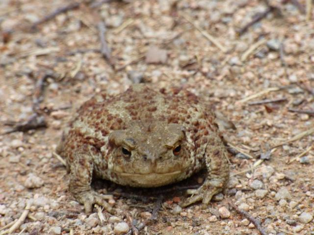 Puffed -up toad