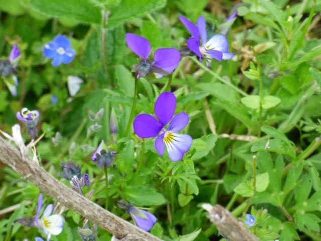 Field or wild pansies