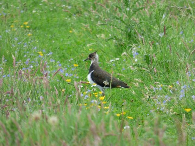 One of the lapwing chick, almost all grown up.