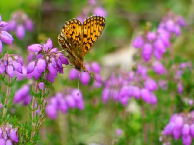 Small pearl- bordered fritillary feeding on bell heather