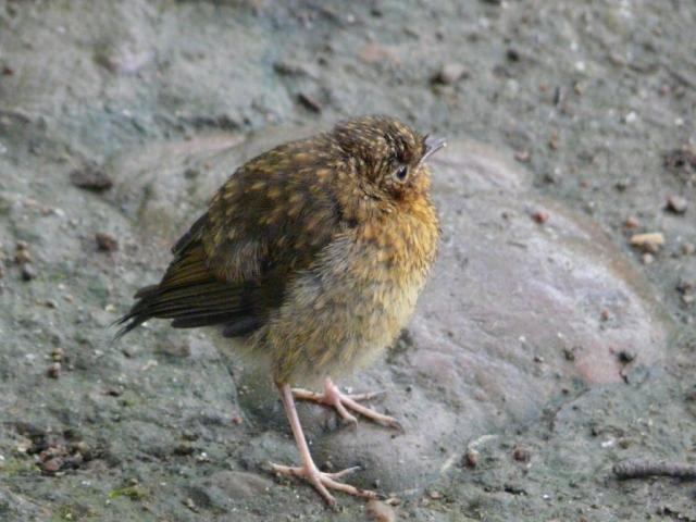 Young robin, not looking very robin - like