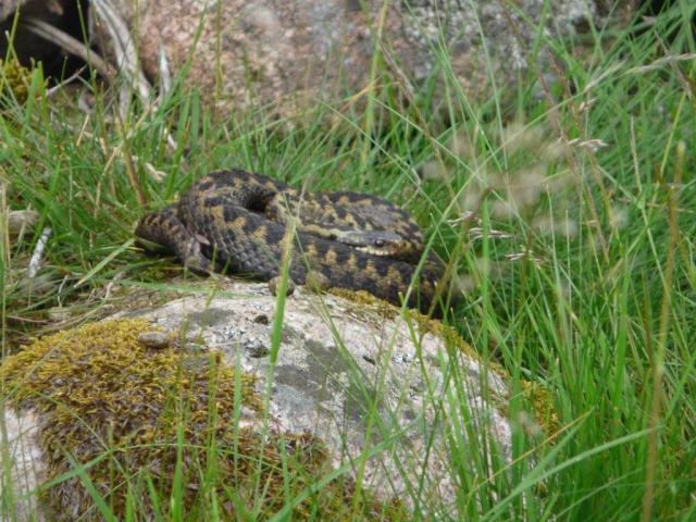 Adder basking on a rock