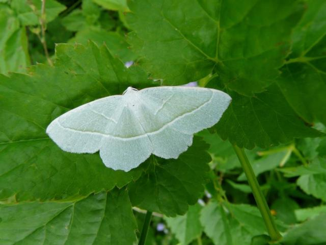 Light emerald moth