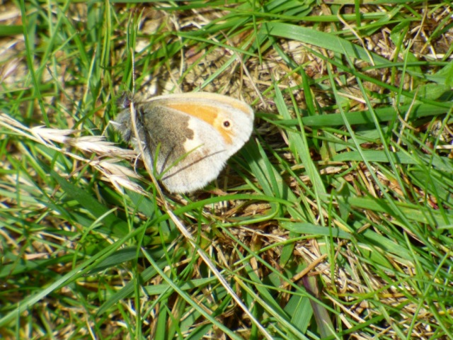 Small heath butterfly. They always land with their wings closed.