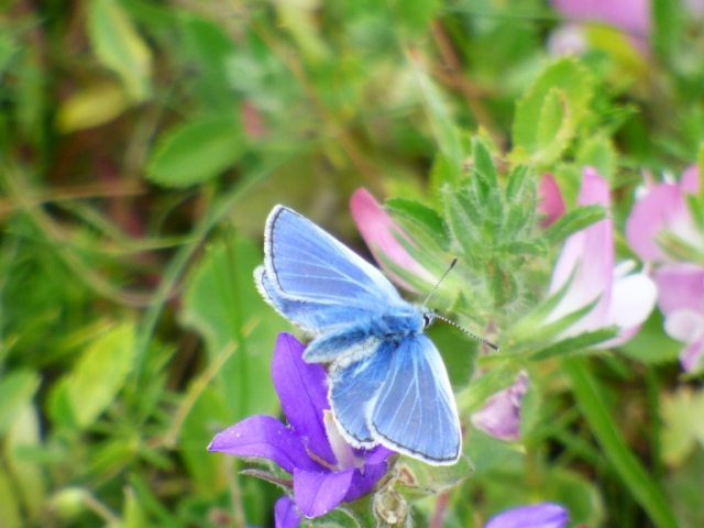Common blue butterfly on clusterd bellflower