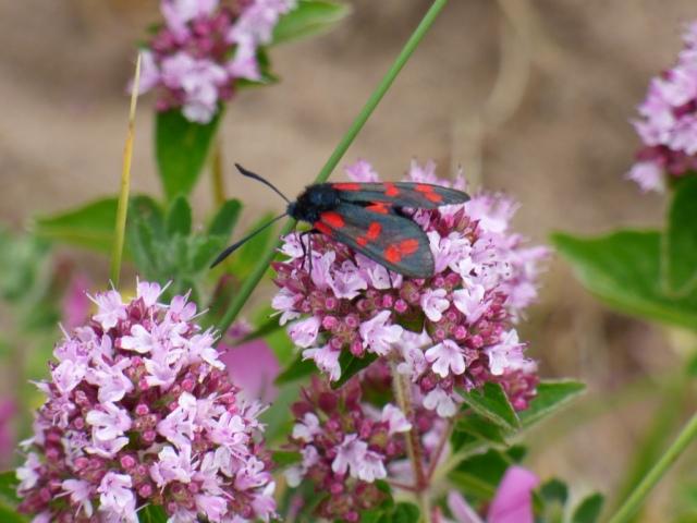 Six-spot burnet moth on wild marjoram