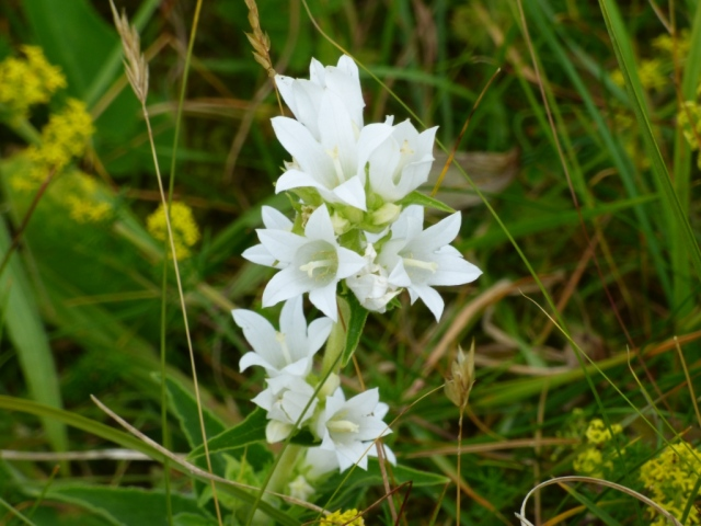 A white clustered bellflower