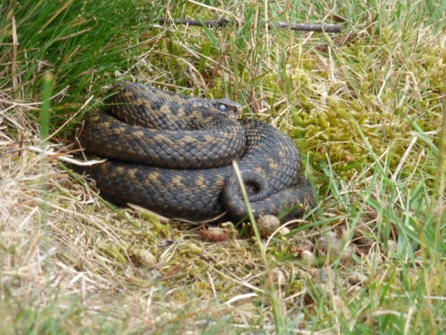 Adder with milky eye- looks well fed!