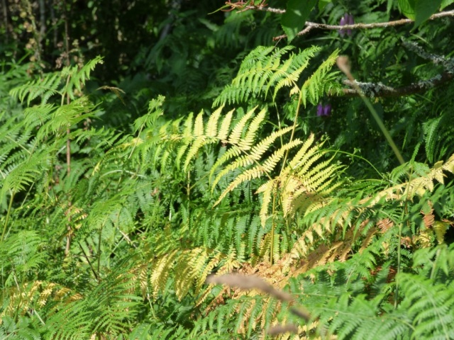 the bracken is starting to turn yellow