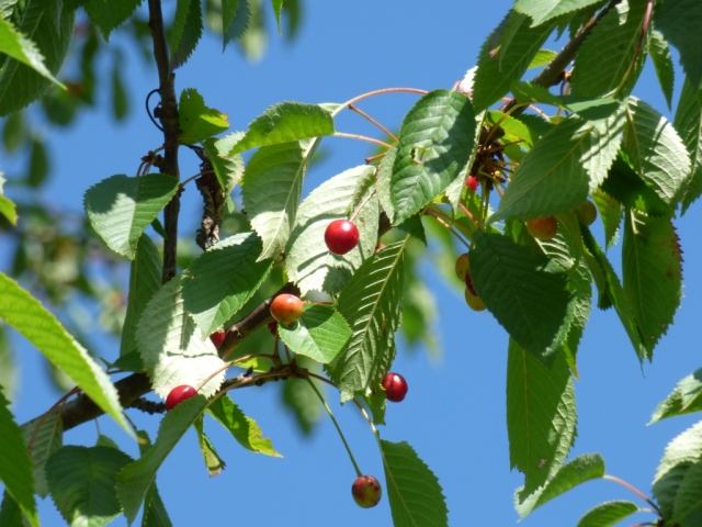 Wild cherries ripening in the sun